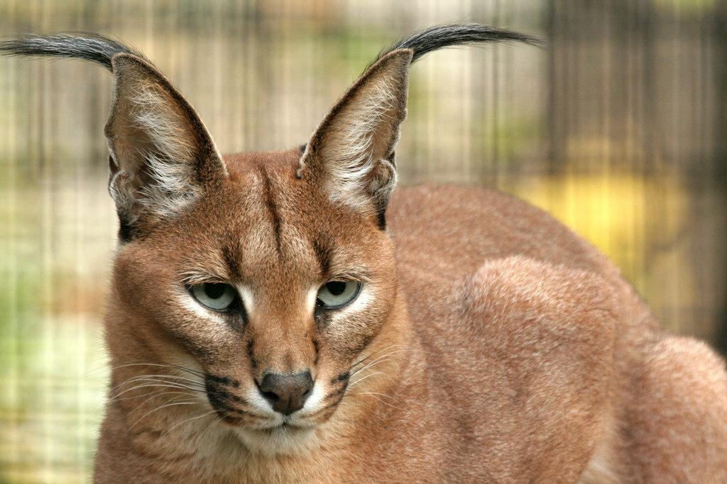 луанде кошки с ушами как у рыси фото педофилии советских плакатах