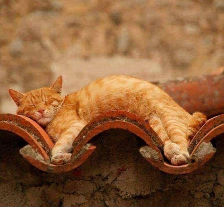 Кот на крыше. 🐱 Красавчик вписался в эту картиночку. Выглядит великолепно, загорает. 😊 #рыжая_кошка #кошки #гибкая_кошка #на_крыше #отдыхает #cat #on_the_roof #resting #ginger_cat #animals