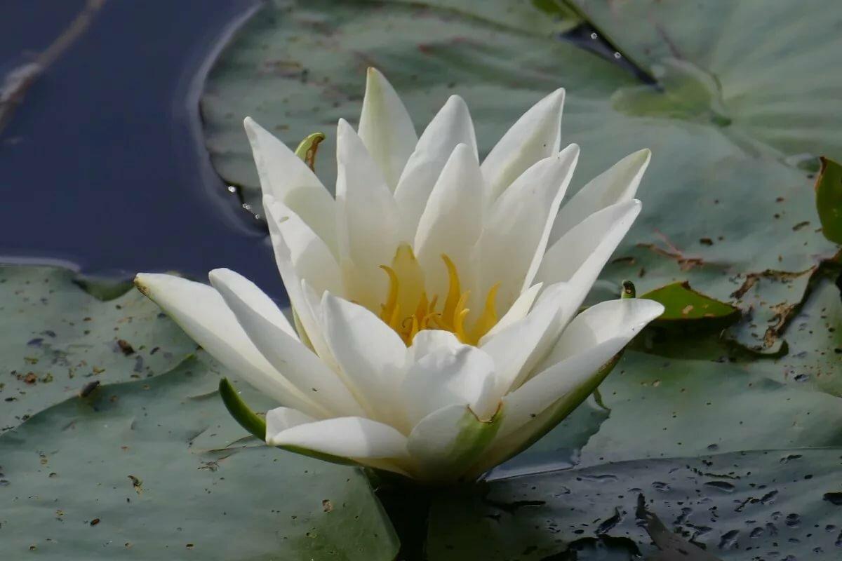 картинки белых лилий на воде камер позволяют