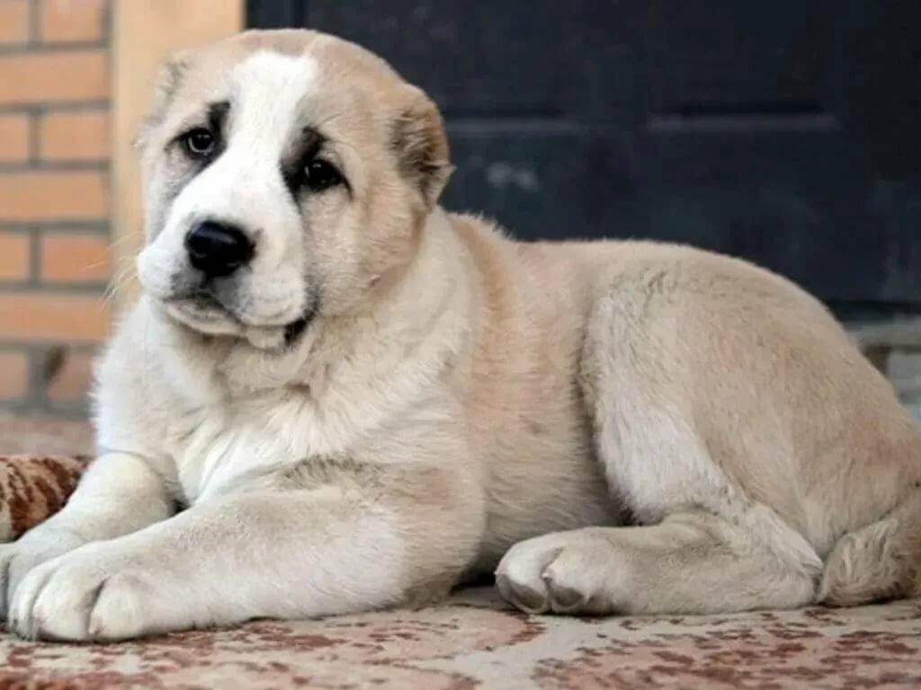 азиатские собаки фото