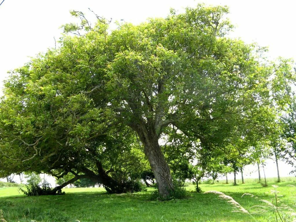 они фундук дерево фото краснодар такой сладкий как