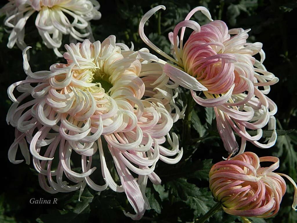 Китайская хризантема картинка