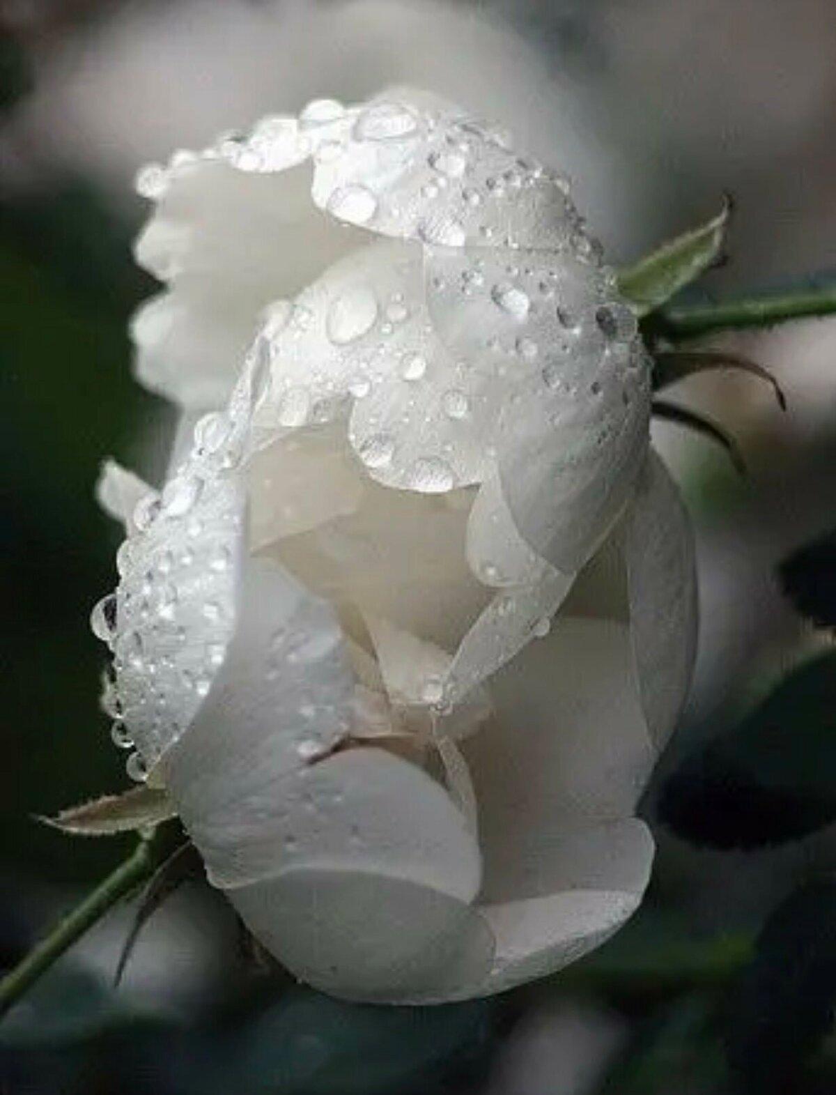 Белые цветы стихи рваном каскаде
