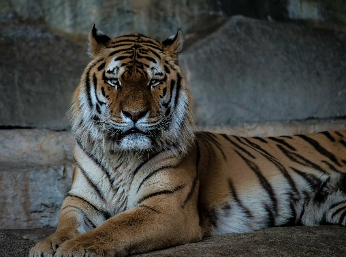 тигр картинки фотографии букв
