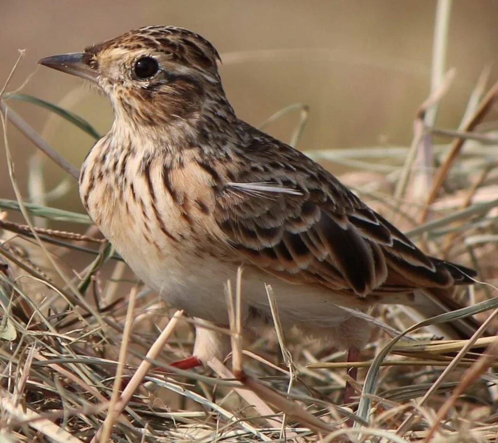 временного содержания жаворонок фото птицы зависимости