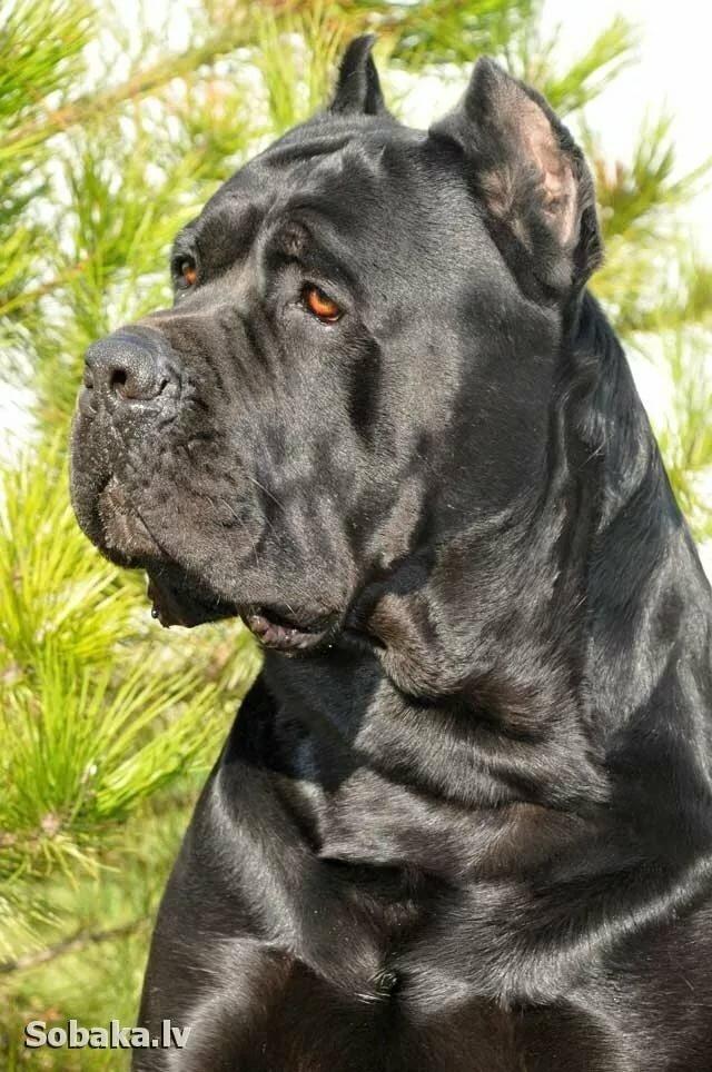 Собаки кане-корсо картинки