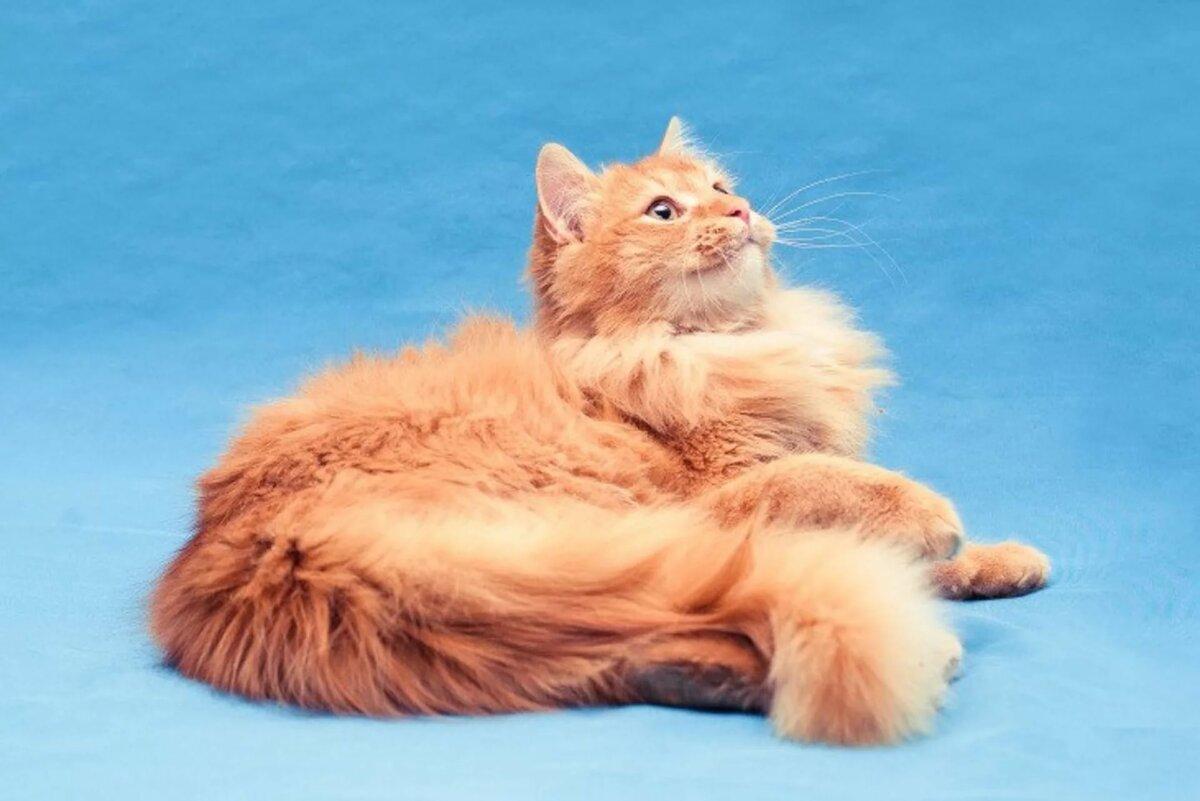 возможно, картинки рыжего кота пушистого отдыхают