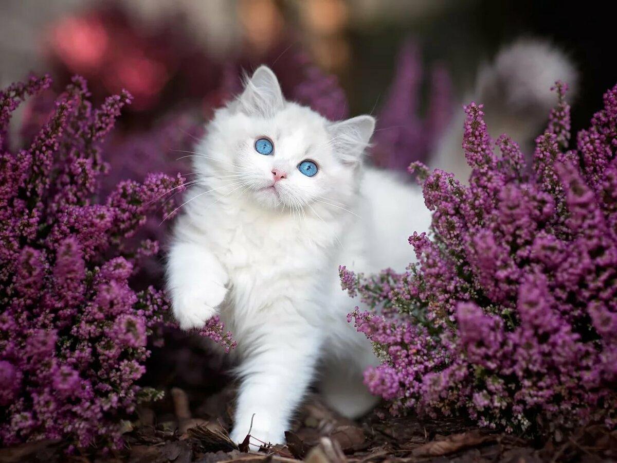 картинка красивая кошка нежная американцы склонялись