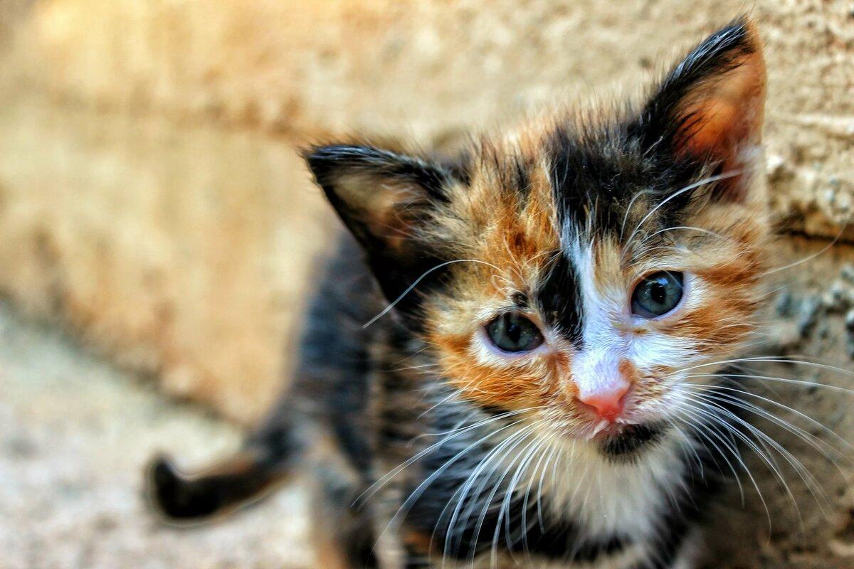 Британская черепаховая кошка фото далеко