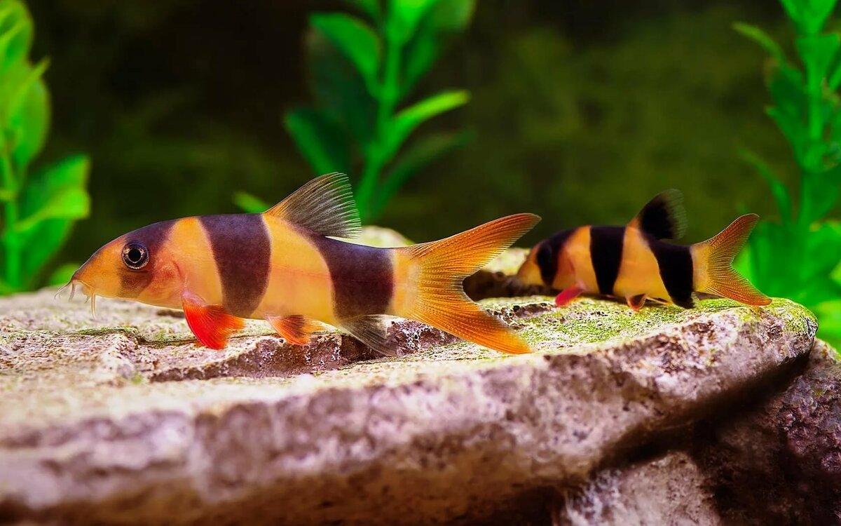 картинки с рыбами аквариумные кыз-келиндер