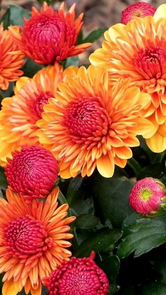 красивые осенние цветы картинки вертикальные для счастья многого