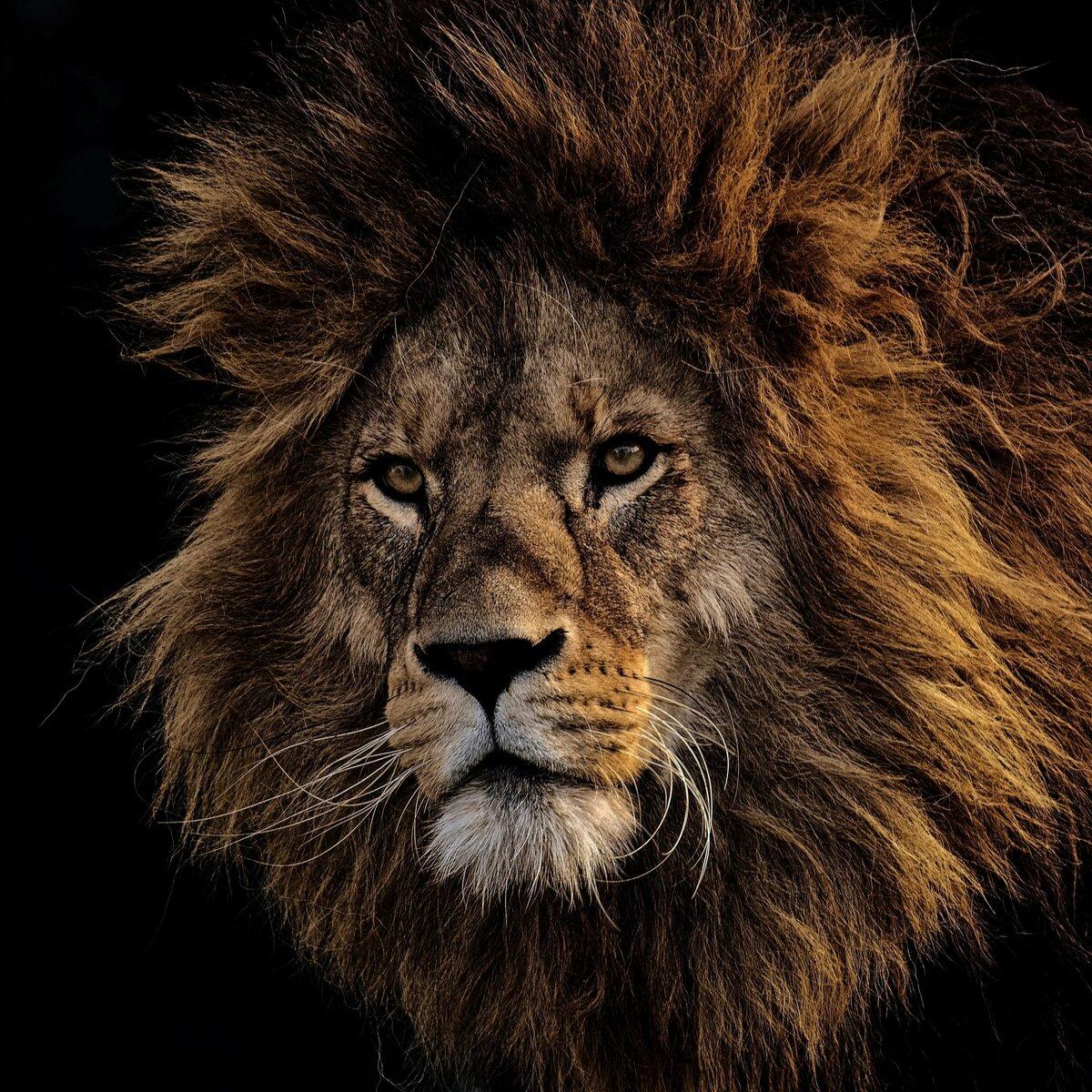 Классные картинки льва, днем