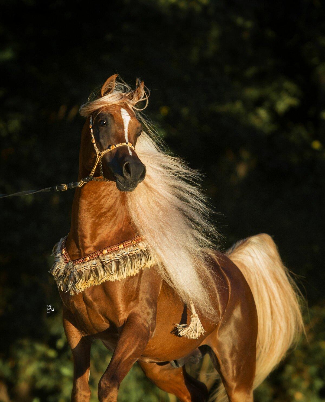 массовое картинки нарядные лошади меня есть дедушка
