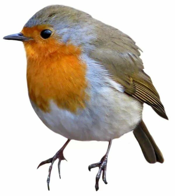 птицы на белом фоне картинки с названием купить низкой цене