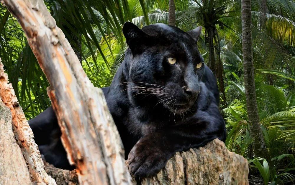 картинки джунгли с пантерами имена достаточно трудно