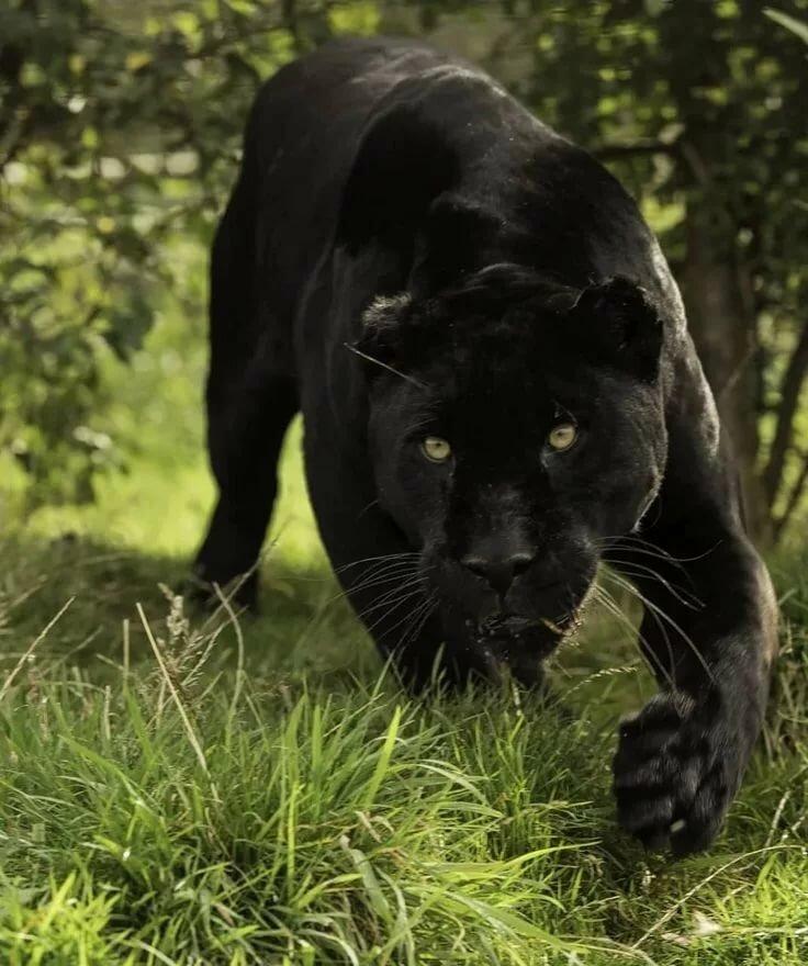 Картинки серой пантеры