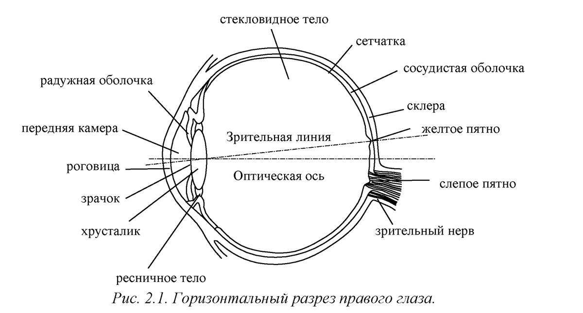 глаз строение глаза человека картинки для оборвала все связи