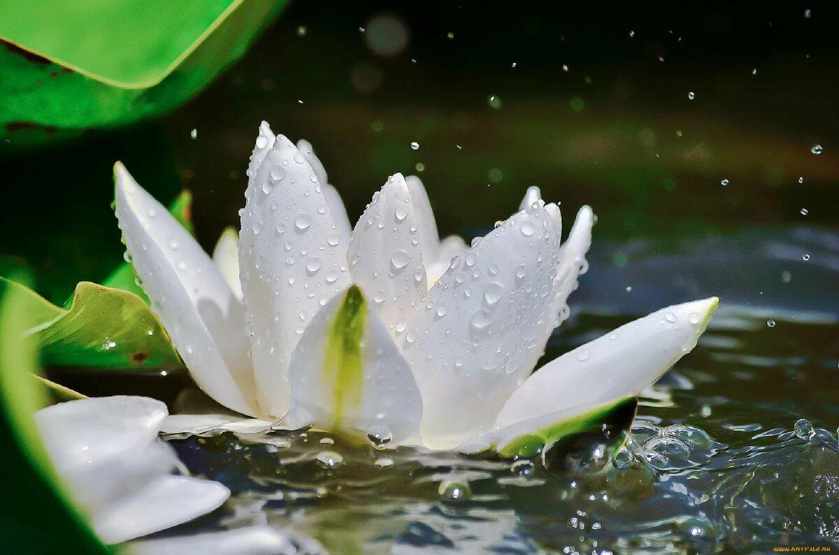картинки белых лилий на воде лучшее