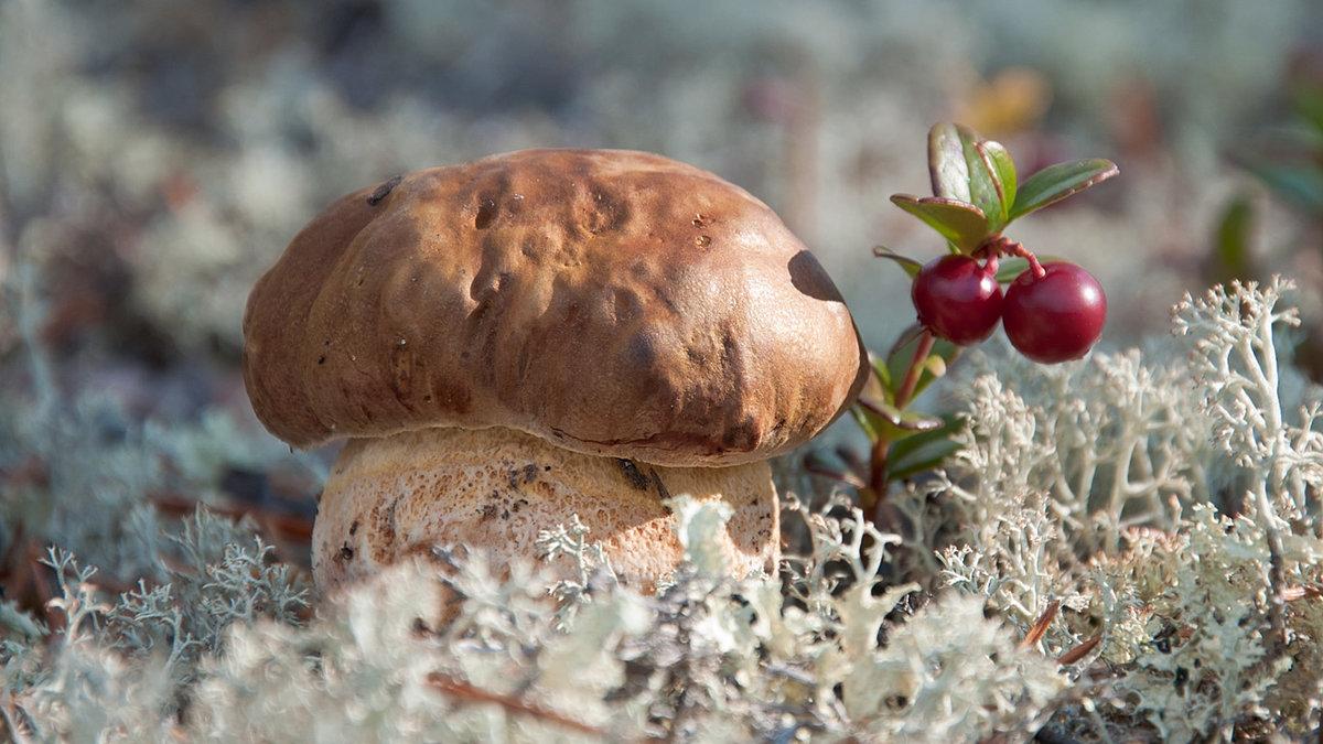 Тундра грибы картинки