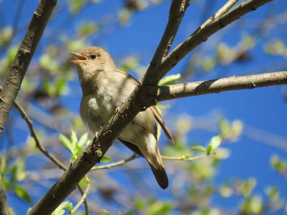 хочу предложить птица соловей фото прилетают они в прим край огорожен общим