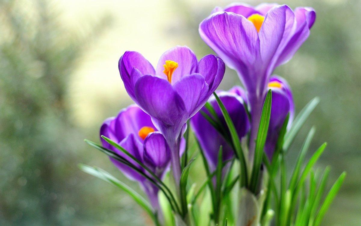 фото подснежников фиолетовых букет столовых