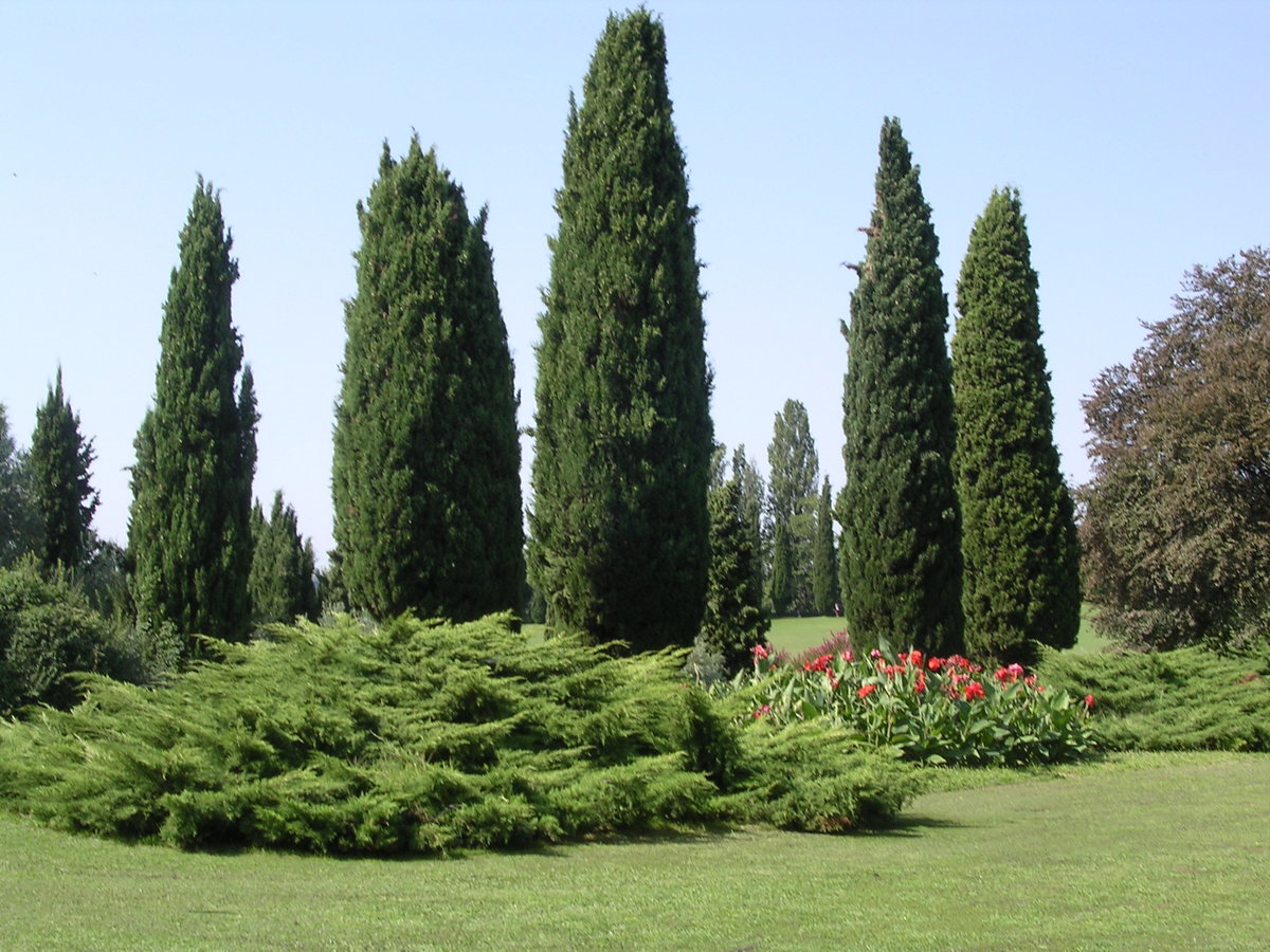 обладает достаточно кипарис крымский фото городской сад