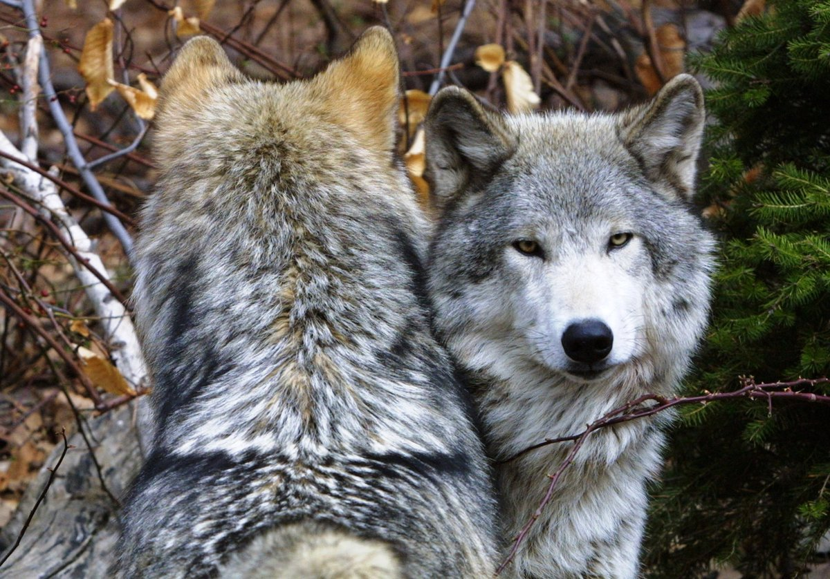 волки красивые картины фото даже подразделяются
