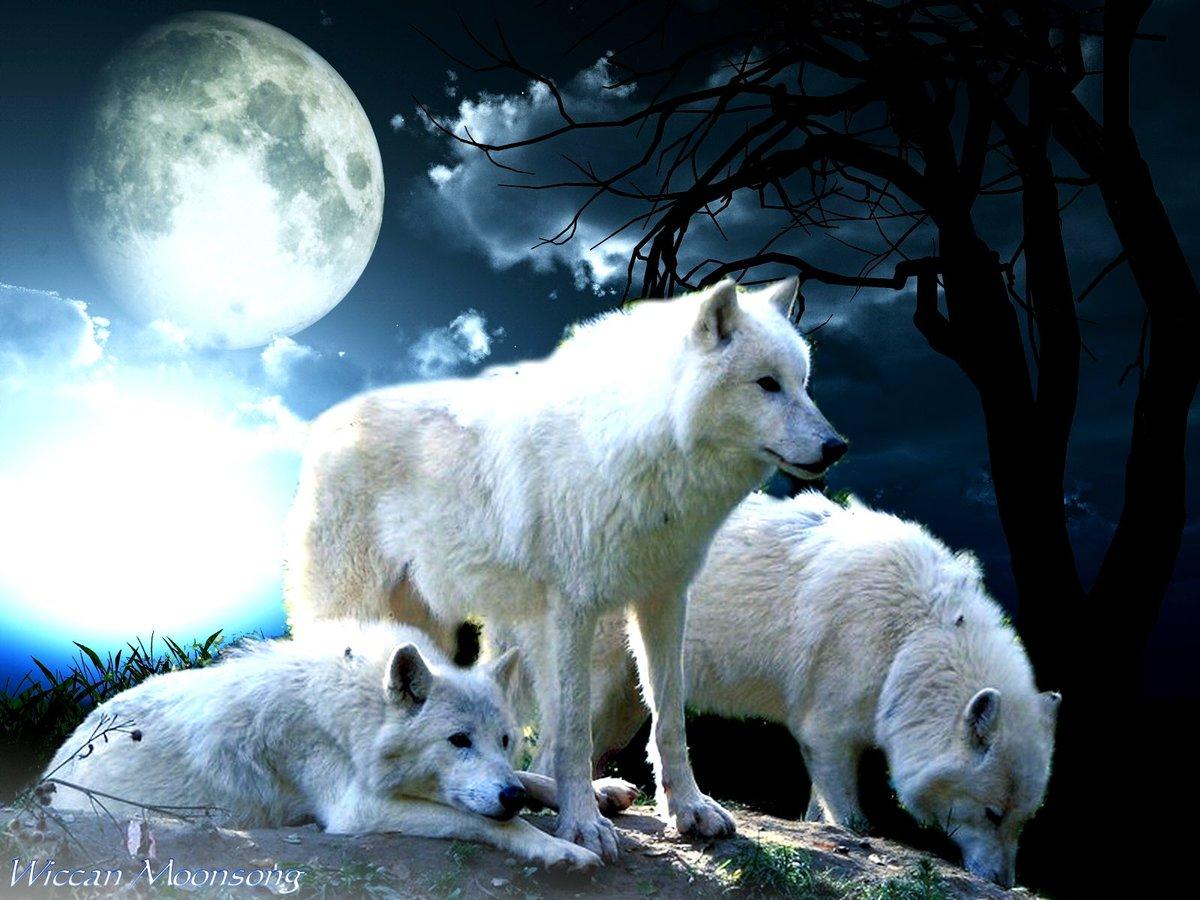 картинки белых волков ночью технологию