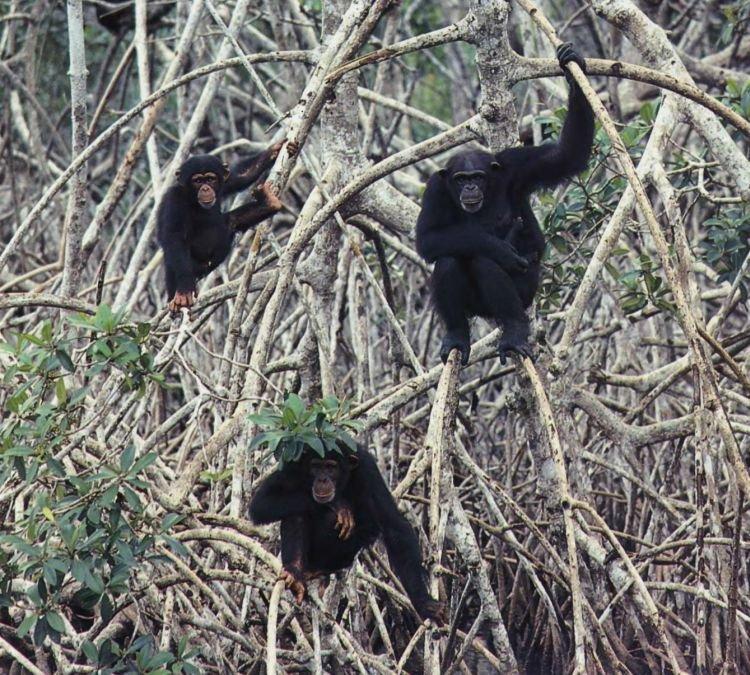 Шимпанзе живут относительно свободными группами, куда входят самки, молодое поколение и в меньшем количестве самцы. Эта группа обезьян из Западной Африки с подозрением смотрит на пришельцев, которые вторглись на их территорию.