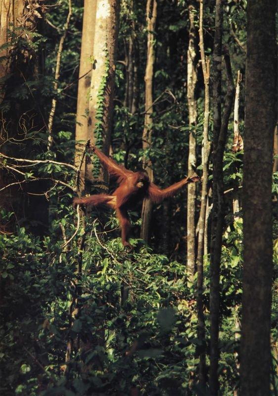 С легкостью и уверенностью, используя свои руки и ноги, этот молодой орангутанг движется по лесу. Он очень заметен благодаря своей ярко-рыжей окраске.