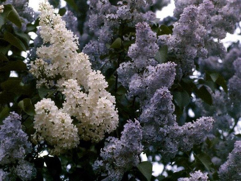 Открыток, картинки цветы сирени ичеремухи