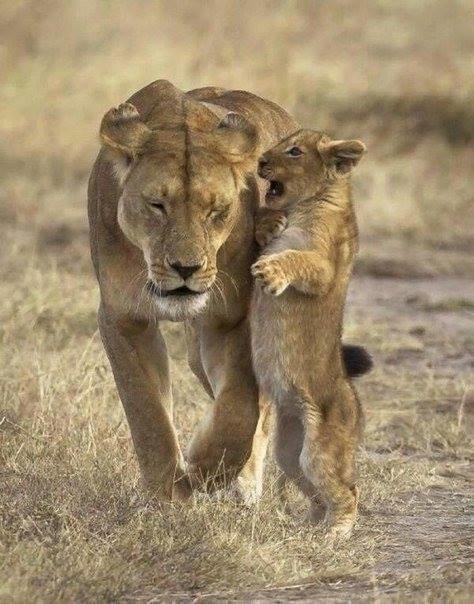 Львы фото картинки с надписями, картинки