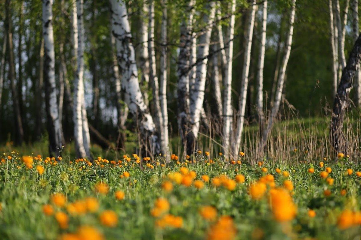 картинки с березами и цветами родом беларуси, выросла