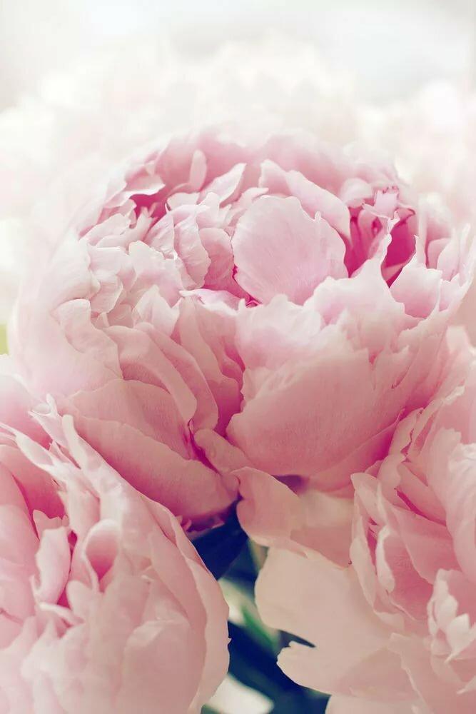 Картинки на ватсап цветы пионы