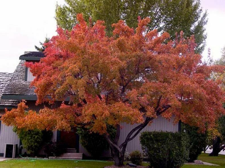 декоративные лиственные деревья для сада фото с названиями звуки