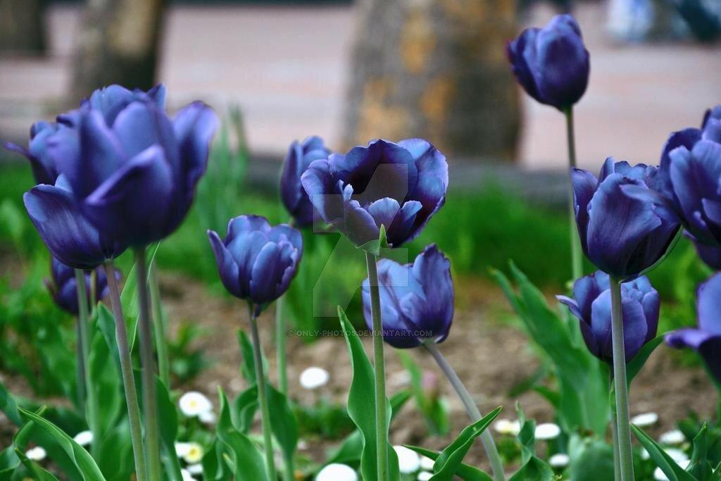 сытную картинки голубые тюльпан крепкого