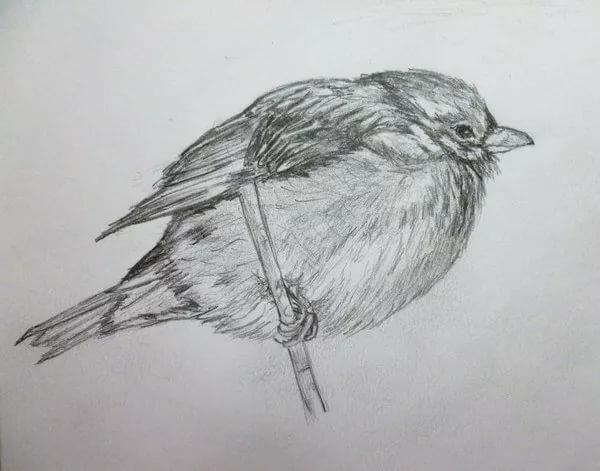 Картинки воробья для срисовки красивые карандашом поэтапно