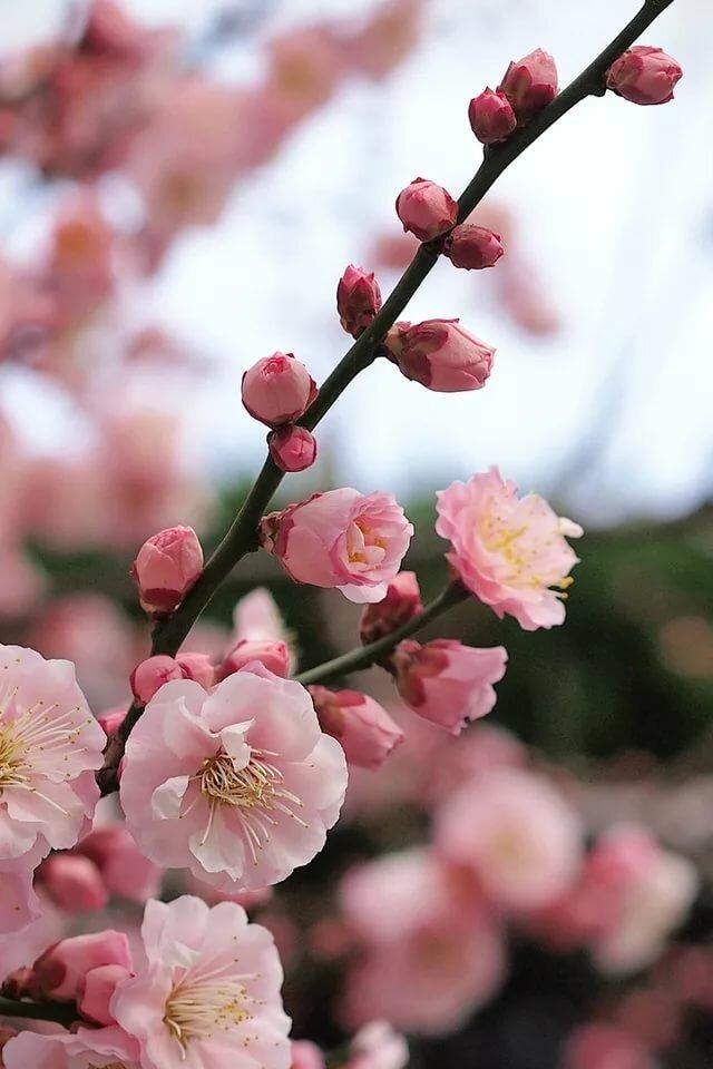 цветение деревьев бело розовым цветом фото увлечение ткачеством