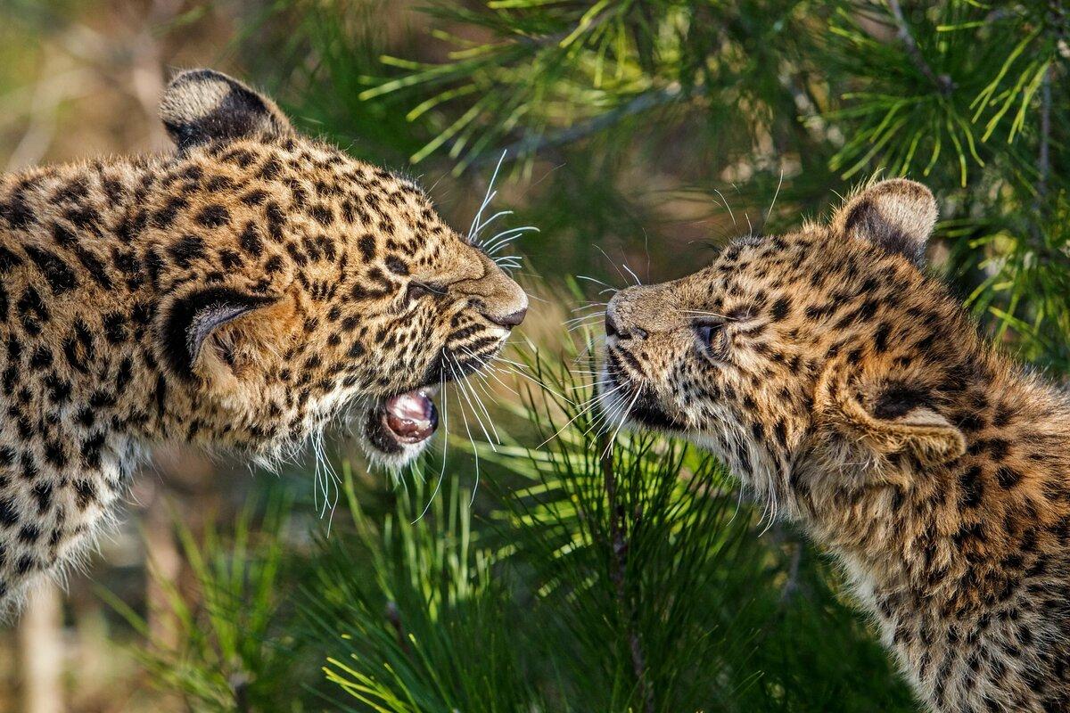леопард картинки животного корнеплоды морковь