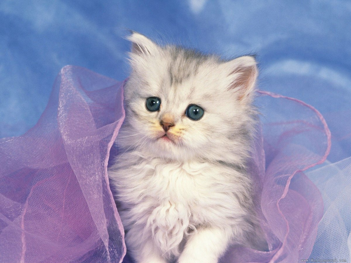 Кошки окрасы картинки считались