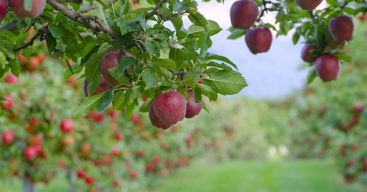 Яблоневые сады с плодами картинки