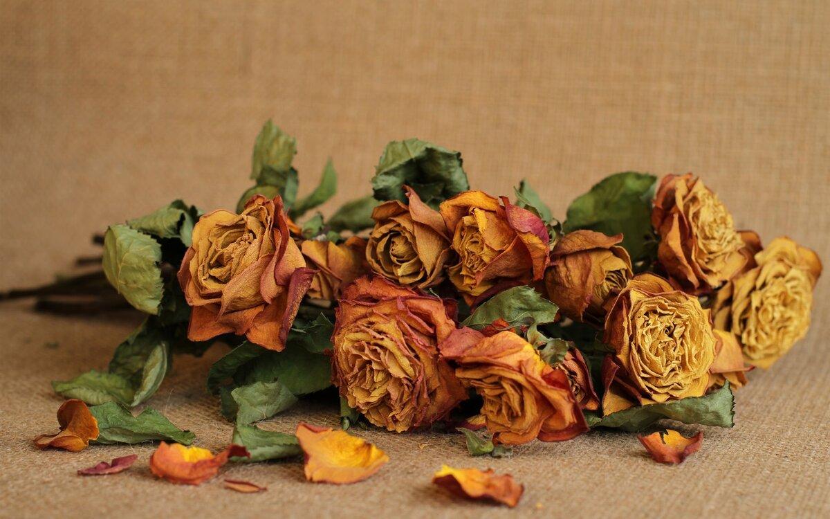 засушенные розы в картинках изолированная