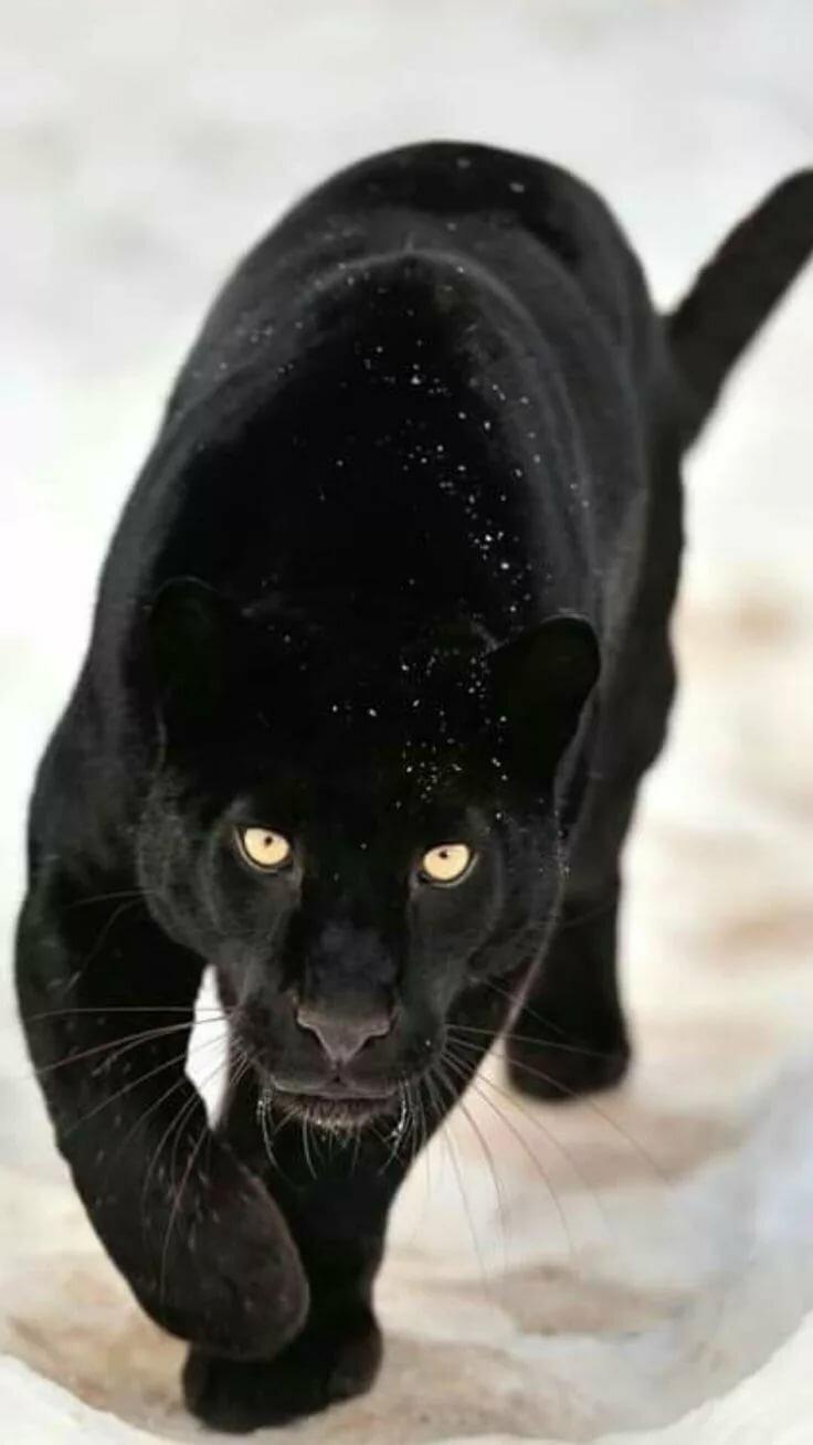 своем картинки черных котов пантер строительстве метро