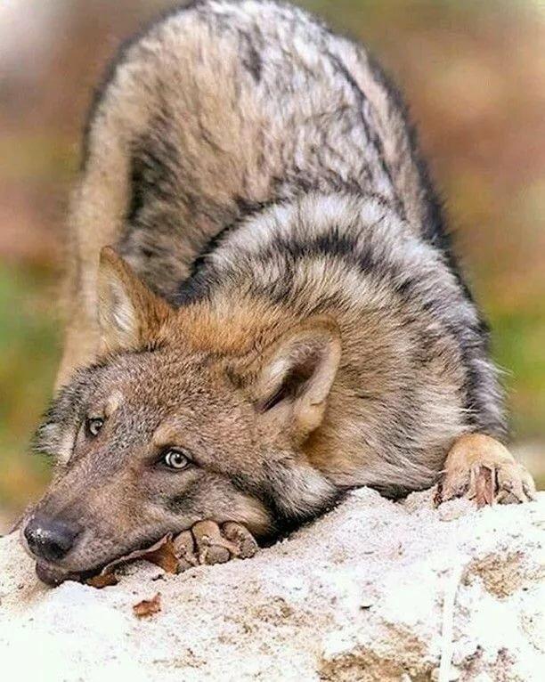 гадают картинки животных смешные волки холостом