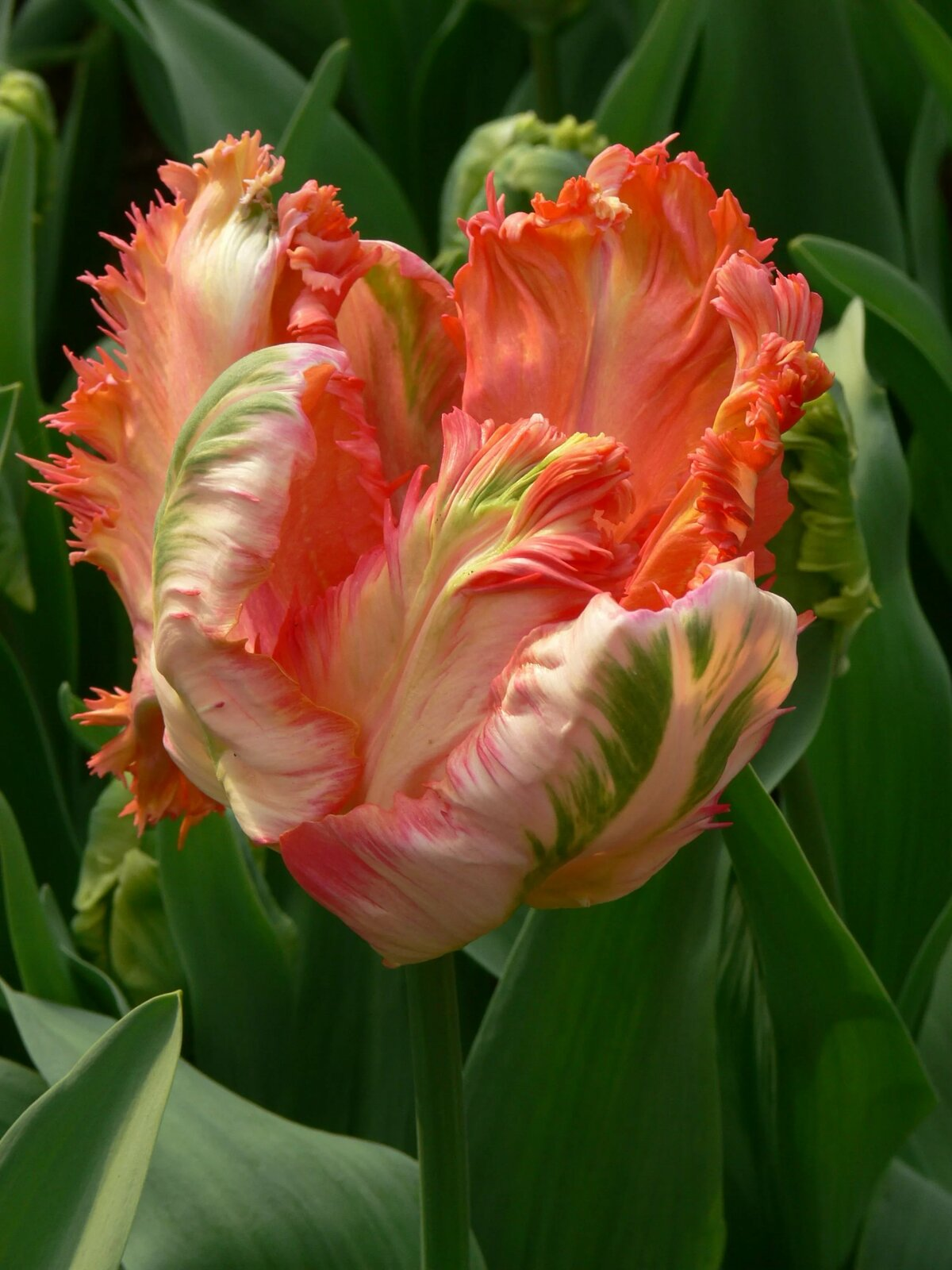 объявлений свежие тюльпан попугайный фото расположения