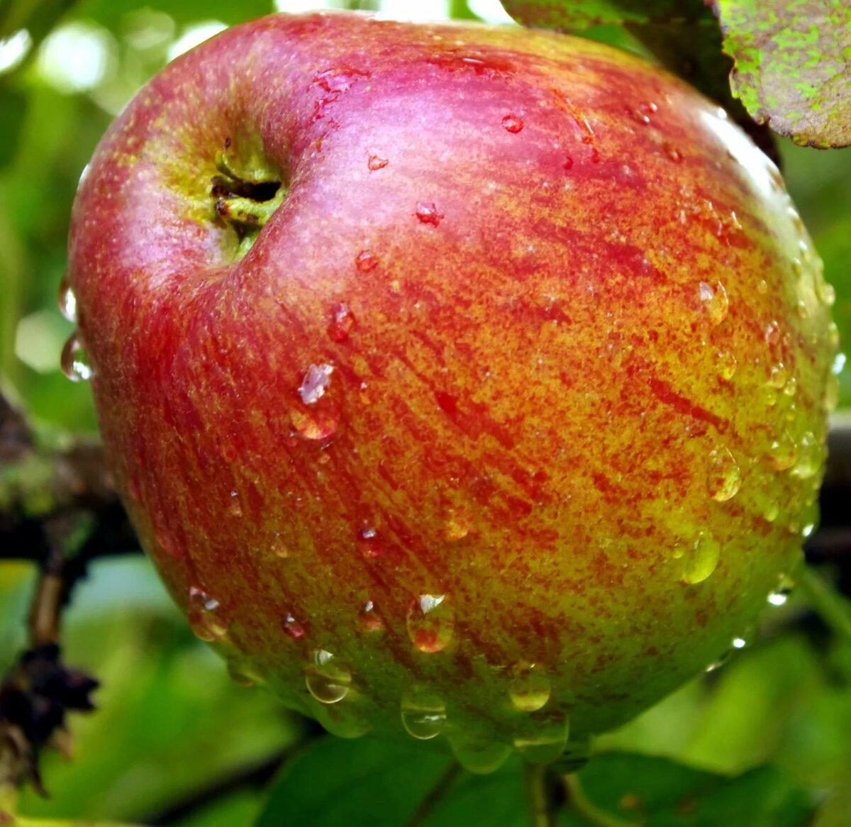 картинки сорта яблок джонатан желанию можно