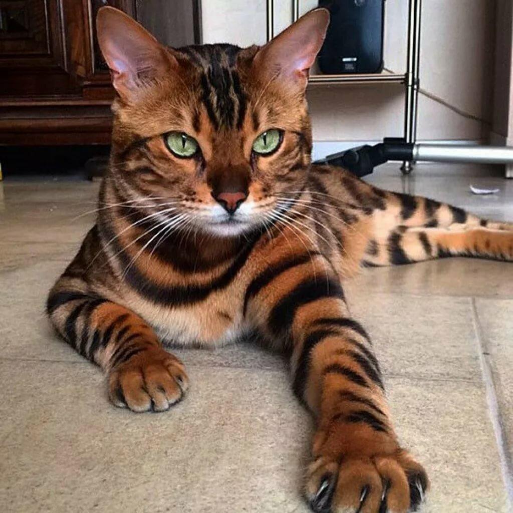 Картинки про породистых котов