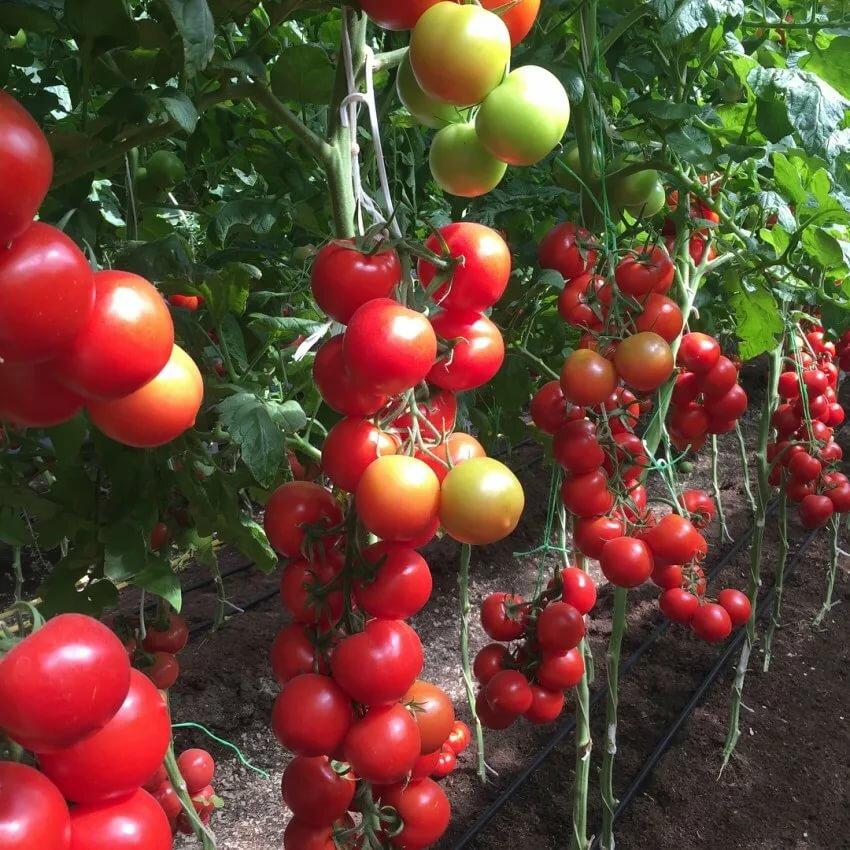 рынка картинки томат благовест родилась хабаровске, удалось