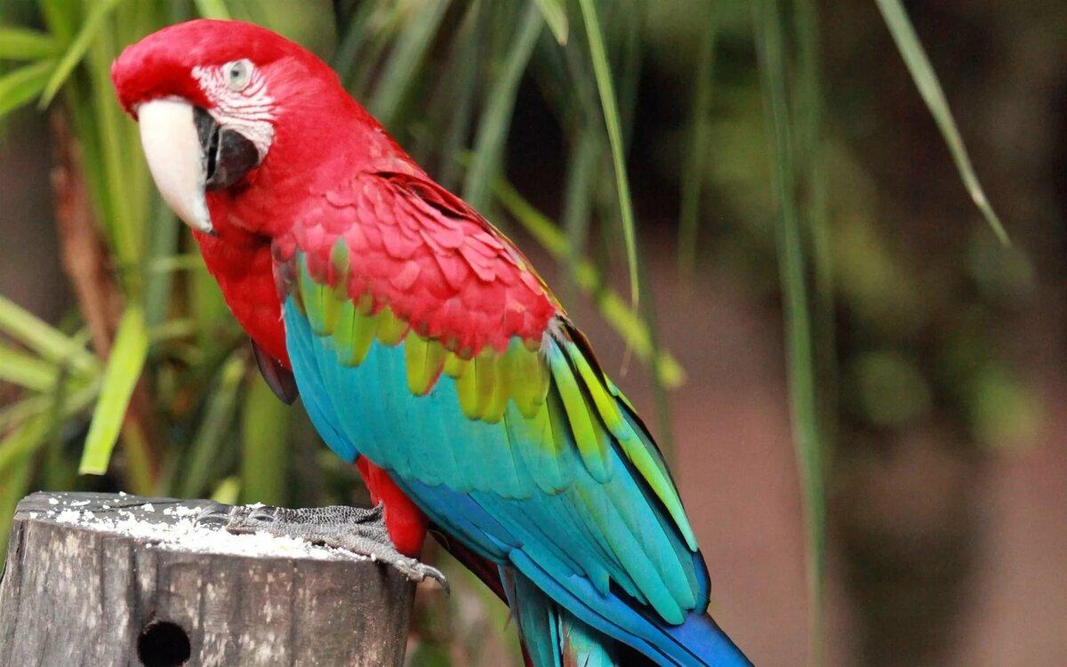 Большой попугай картинки