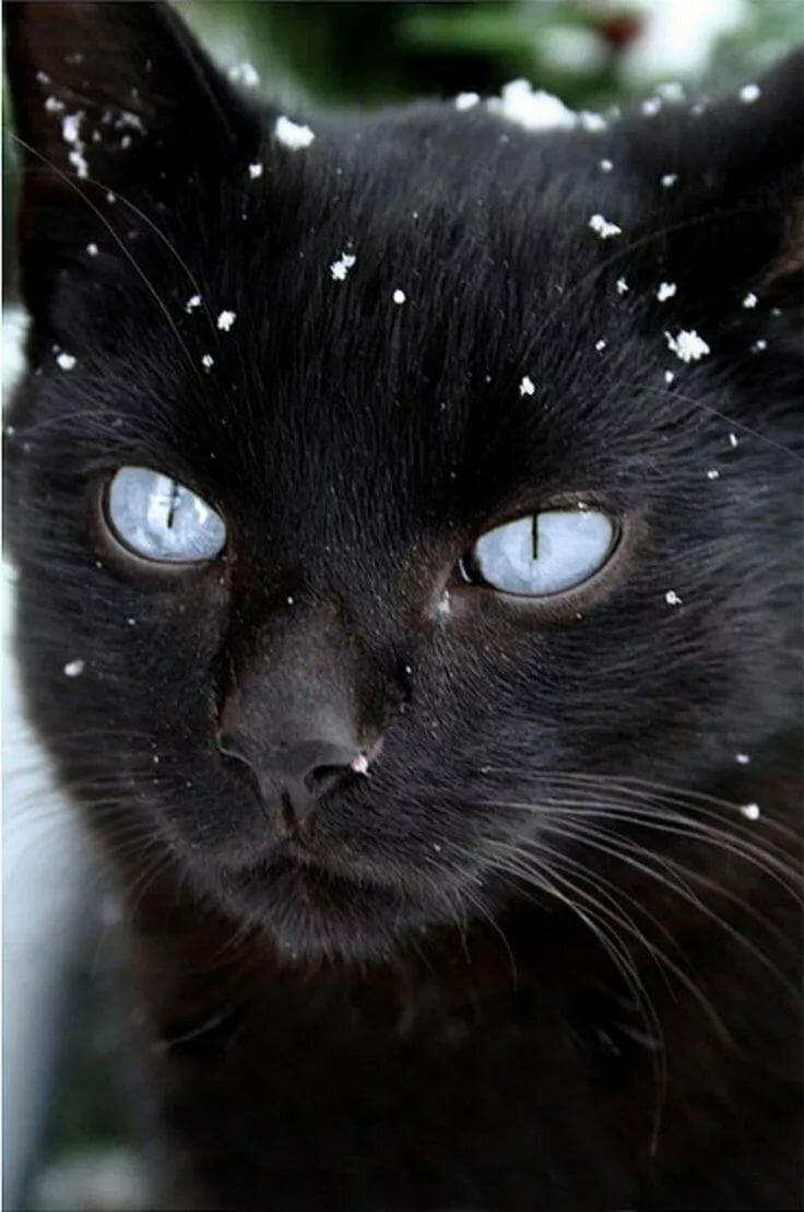 картинки с черными кошками с голубыми должны быть высота